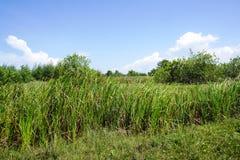 Ett stort fält med grönt högväxt gräs och en blå himmel Royaltyfri Fotografi