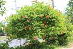 Ett stort grönt träd blommar i staden Fotografering för Bildbyråer