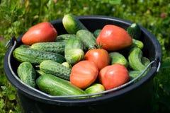 Ett stort höstskördskott från hinkar av nytt valda mogna röda tomater och gurkor i trädgården i höst royaltyfria bilder
