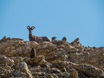 Ett stort horn- får och behandla som ett barn stirrar ner en murmeldjur Arkivbilder