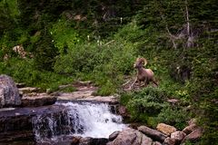 Ett stort horned får som framme poserar av en vattenfall royaltyfri fotografi
