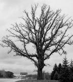 Ett stort, knotigt gammalt träd arkivbild