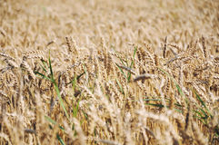 Ett stort kornfält, ordnar till för skörd fotografering för bildbyråer