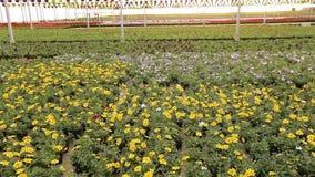 Ett stort modernt v?xthus med att blomma blommor, ett modernt varmt f?r v?xande blommor, m?nga blommande blommor lager videofilmer