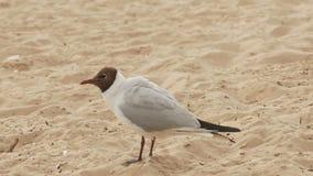 Ett stort Seagullanseende på sanden på stranden i sommar arkivfilmer