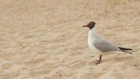 Ett stort Seagullanseende på sanden på stranden i sommar stock video
