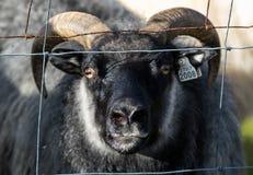 Ett stort svart RAMfår med långa horn och gula ögon som ut ser från staketet iceland royaltyfri fotografi