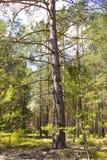 Ett stort träd i en solig skog sörjer med långa filialer Arkivfoton