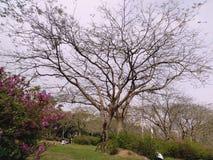 Ett stort träd med paraplyform av filialer royaltyfria foton