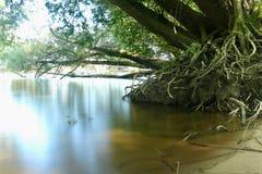 Ett stort träd med stort rotar anseende i slätt vatten Arkivbilder