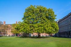 Ett stort träd på en grön gräsmatta på Trinity College i Dublin arkivfoto