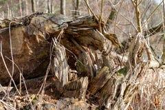 Ett stort träd som avverkas av bäver Gammal torr trädstam på kusten av sjön royaltyfria foton