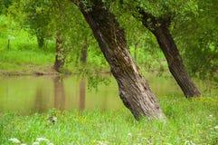 Ett stort träd växer ovanför floden Gr?nt gr?s v?xer p? kusten arkivfoton