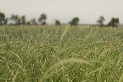 Ett strimlat foderfält Rulla Fält av foder Arkivfoto