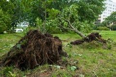 Ett stupat träd efter orkan Royaltyfri Foto