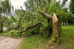 Ett stupat träd efter orkan Royaltyfria Bilder