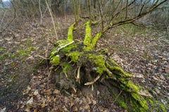 Ett stupat träd i skogen Arkivfoto