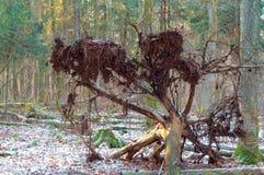 Ett stupat träd i skogen, rotar av trädet arkivbilder