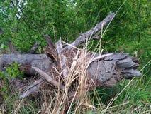 Ett stupat träd i träna Royaltyfri Fotografi