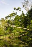 Ett stupat träd längs en flod Arkivfoto