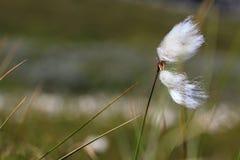 Ett stycke av bomullsgräs som blåser i vinden arkivbilder