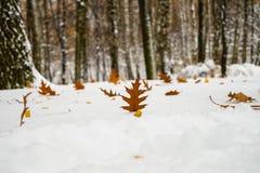 Ett stycke av eken i snön Royaltyfria Bilder