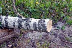 Ett stycke av sågade björkar i skogen ovanför jordningen royaltyfria bilder