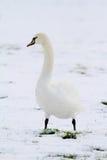 Ett svananseende i snö Arkivbild