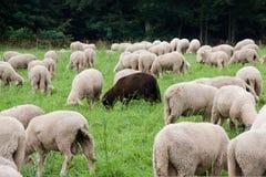 Ett svart får i en flock royaltyfri bild