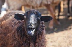 Ett svart får visar tungan i en paddock royaltyfri foto