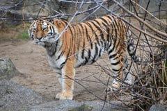 Ett tigeranseende bak en buske fotografering för bildbyråer
