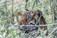 Ett tigerskinn bak växter arkivbild