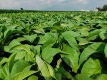 Ett tobakfält i dagsljus fotografering för bildbyråer
