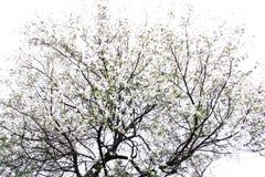 Ett träd av den vita magnolian Royaltyfri Foto