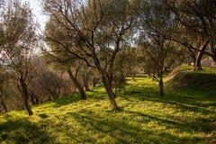 Ett träd av oliv i Liguria royaltyfri bild