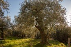 Ett träd av oliv i Liguria arkivfoton