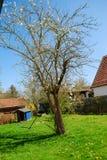 Ett träd blommar under våren i en trädgård Arkivfoto