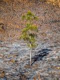 Ett träd efter brand royaltyfri bild