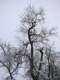 Ett träd efter det tunga snöfallet Royaltyfri Foto