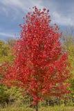 Ett träd för röd lönn i nedgångfärger Royaltyfri Foto