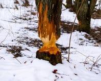Ett träd har gnagts av en bäver royaltyfria bilder