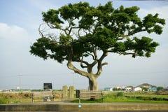 Ett träd i den Jeju ön Fotografering för Bildbyråer