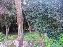 Ett träd i en parkera i den Korfu ön i Grekland Royaltyfri Fotografi