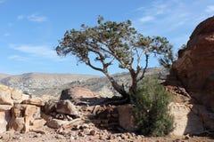 Ett träd i Petra, Jordanien Arkivfoton