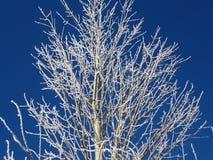 Ett träd i vintermorgonen Arkivfoton