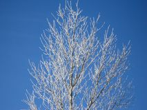 Ett träd i vintermorgonen Arkivfoto