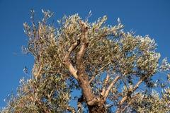 Ett träd med filialen av oliv i Liguria arkivfoton