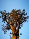 Ett träd med många sidor i morgonen royaltyfri foto