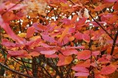 Ett träd med röda sidor Arkivbild