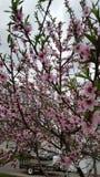 Ett träd med rosa blommor Arkivfoto